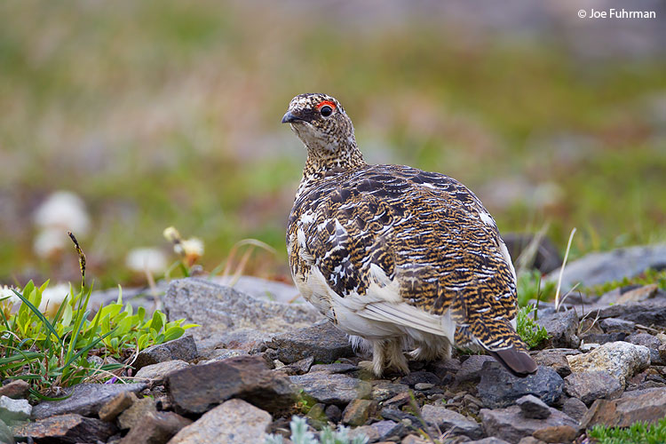 Rock Ptarmigan Seward Peninsula, AK June 2011