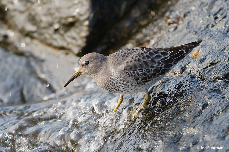 Rock Sandpiper-juv. L.A. Co., CA   November 2006
