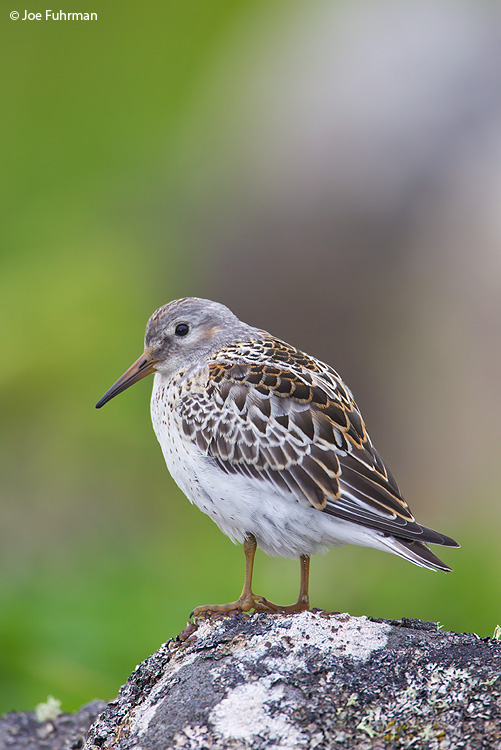 Rock Sandpiper St. Paul Island, AK   Aug. 2010