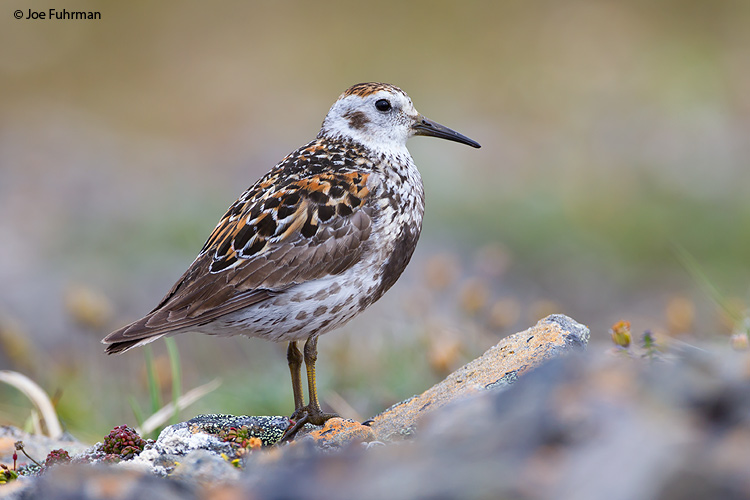 Rock Sandpiper Seward Peninsula, AK   June 2011