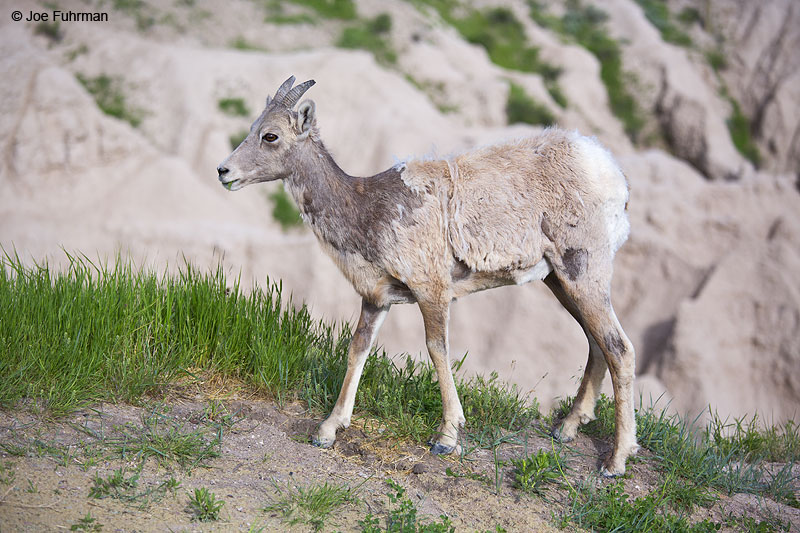 Bighorn Sheep Badlands N.P., SD   May 2014