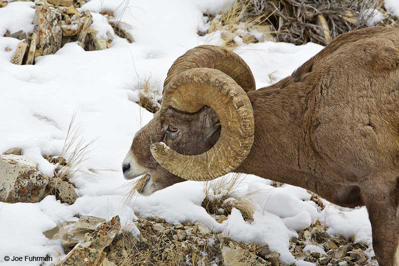 Rocky Mountain Bighorn Sheep Yellowstone N.P., WY   February 2010
