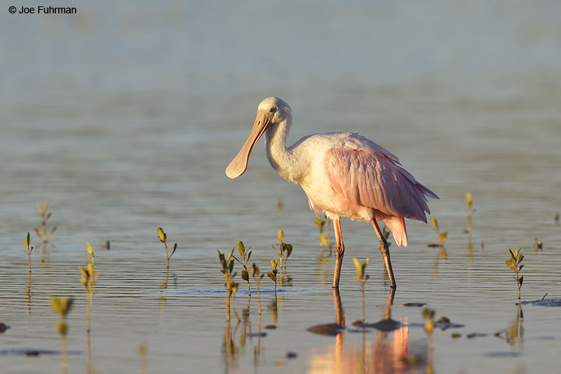 Roseate Spoonbill Nay., Mexico   Dec. 2013