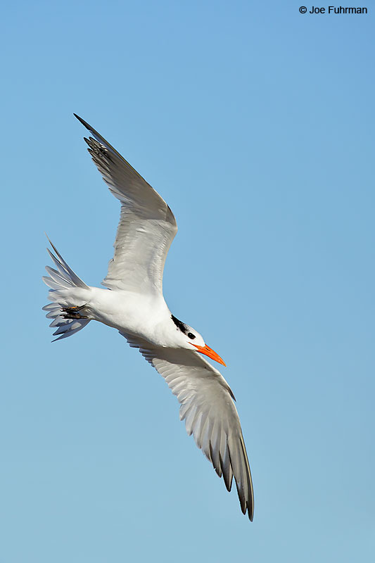 Royal Tern L.A. Co., CA February 2016