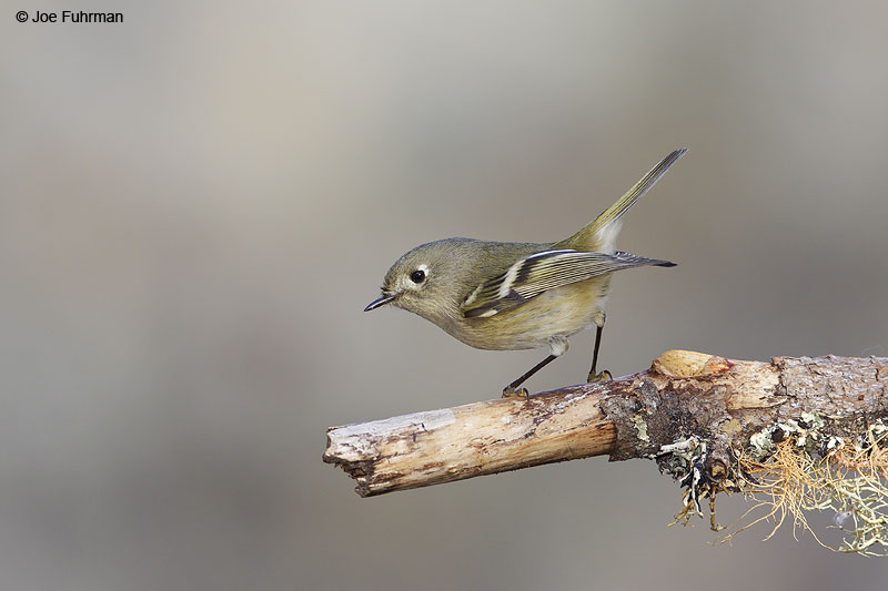 Ruby-crowned Kinglet Malibu, CA   Nov. 2013