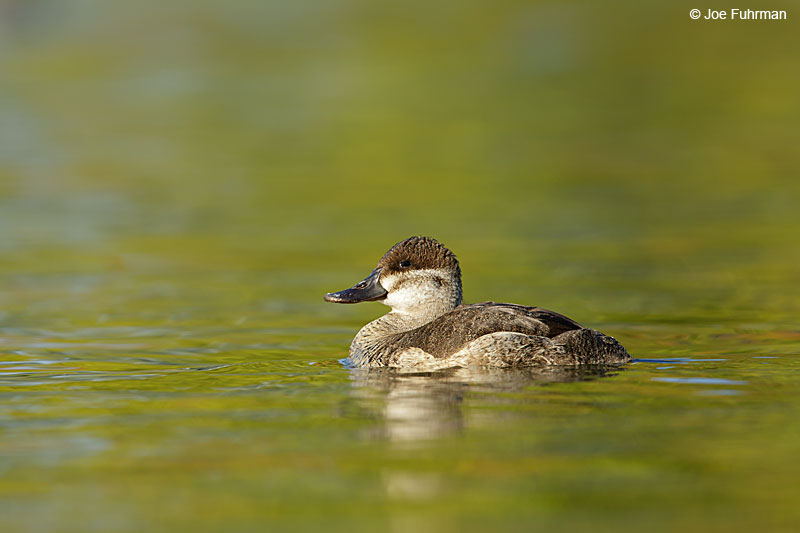 Ruddy Duck L.A. Co., CA   Jan. 2015