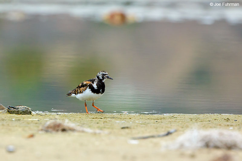 Ruddy Turnstone L.A. Co., CA Aug. 2016