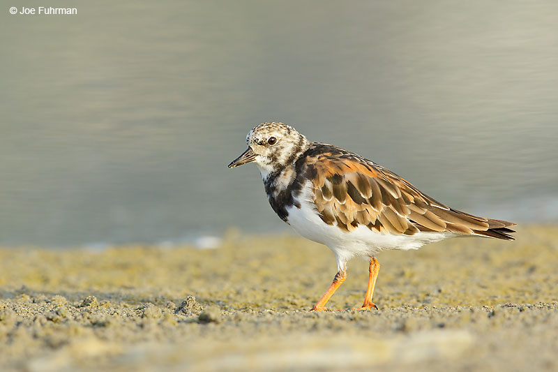Ruddy Turnstone L.A. Co., CA August 2016