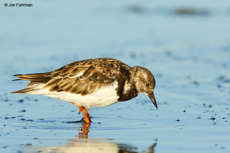 Ruddy Turnstone Malibu Lagoon-L.A. Co., CA    September 2016