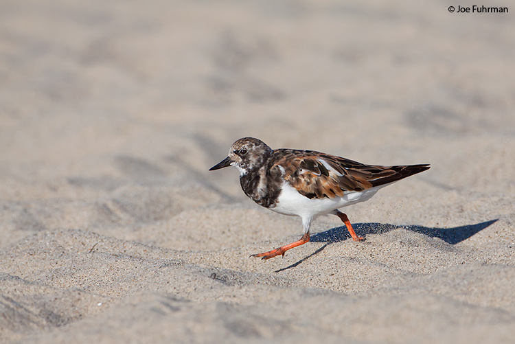 Ruddy Turnstone L.A. Co., CA August 2009