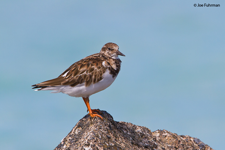 Ruddy Turnstone Midway Atoll, HA March 2010