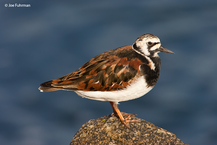 Ruddy Turnstone L.A. Co., CA April 2008