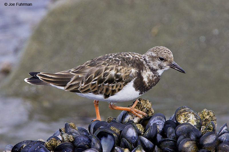 Ruddy Turnstone L.A. Co., CA February 2008