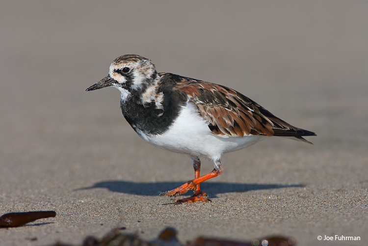 Ruddy Turnstone L.A. Co., CA May 2008