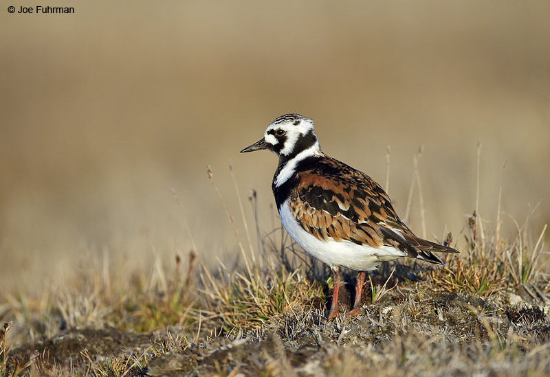 Ruddy Turnstone-breeding Barrow, AK June 2012