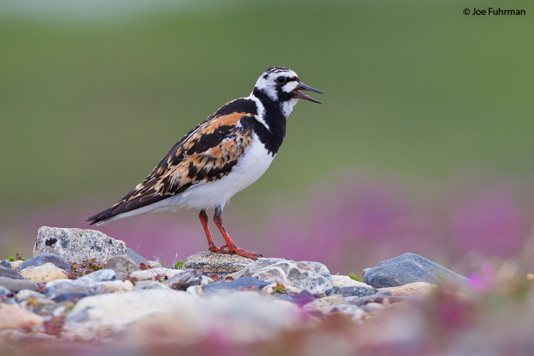 Ruddy Turnstone Seward Peninsula, AK June 2011