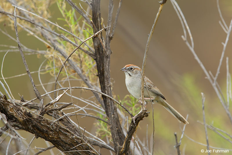 Rufous-crowned Sparrow Santa Curz Co., AZ June 2015