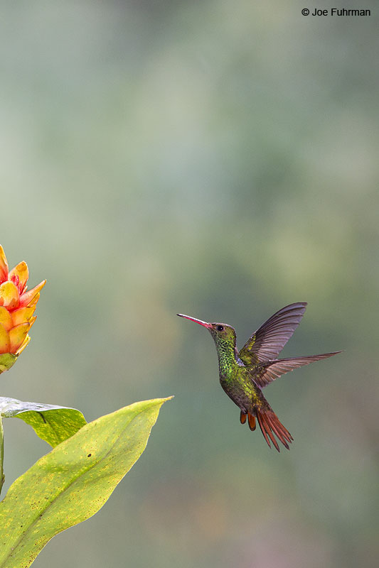 Rufous-tailed_Hummingbird_16A0009