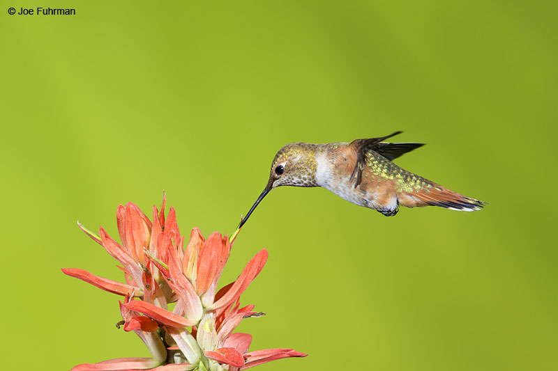 Rufous Hummingbird Apache Co., AZ Aug. 2014