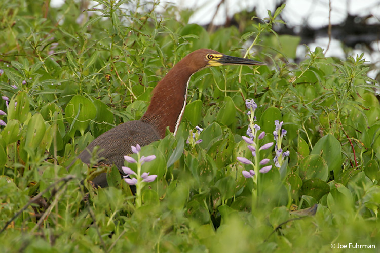 Rufouscent_Tiger-Heron_NC5S1359