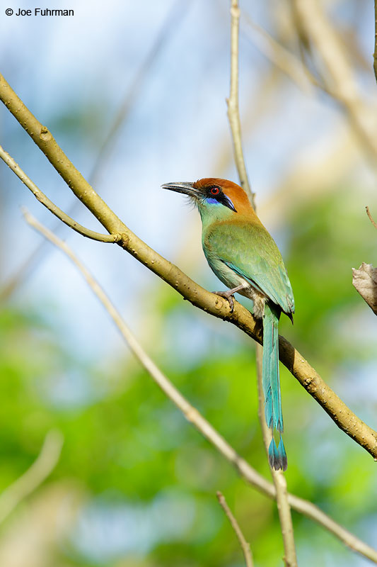 Russet-crowned Motmot Jalisco, Mexico April 2015