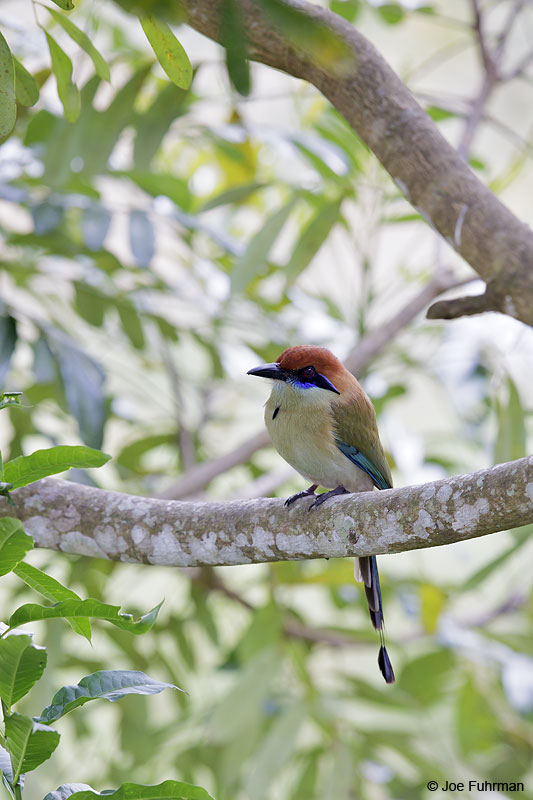 Russet-crowned Motmot El Tuito, Jal., Mexico March 2013