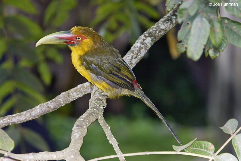 Saffron Toucanet Itatiaia N.P.,  BRZ March 2008 c. Joe Fuhrman