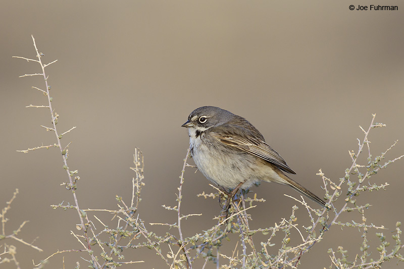 Sage Sparrow Kern Co., CA Jan. 2012