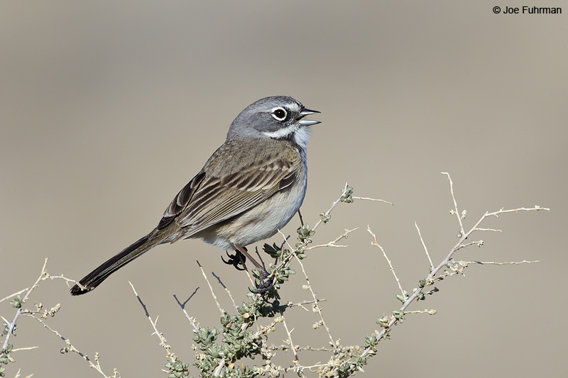 Sage Sparrow Kern Co., CA Feb. 2012