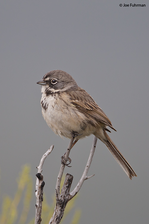 """Bell's"" Sage Sparrow San Diego Co., CA April 2011"