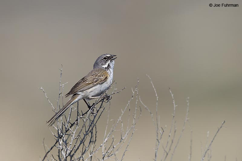 Sage Sparrow Kern Co., CA March 2013
