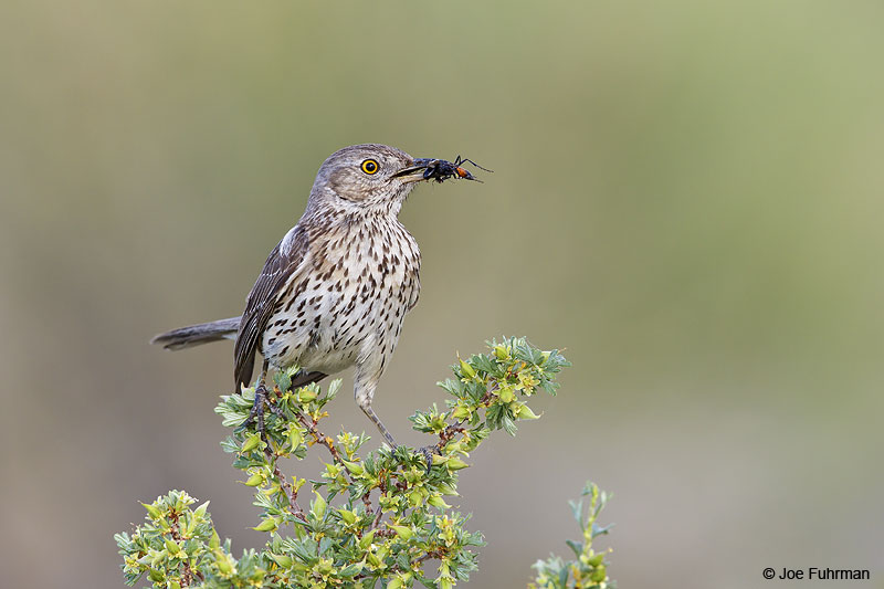 Sage Thrasher Mono Co., CA   June 2013