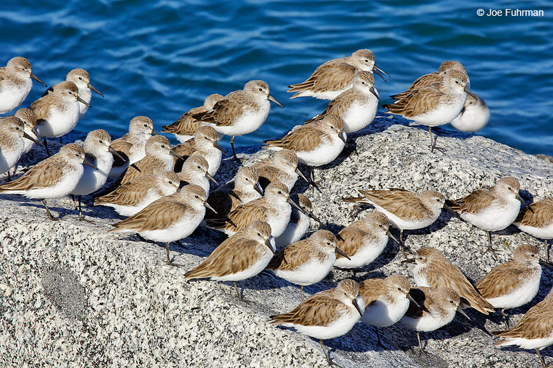 Sanderling L.A. Co., CA February 2016
