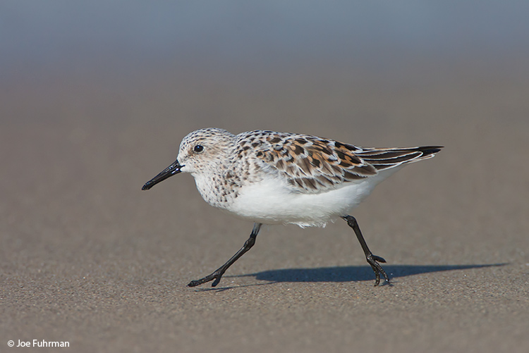 Sanderling L.A. Co., CA May 2008