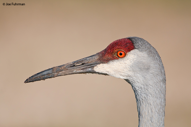 Sandhill Crane Osceola Co., FL March 2009