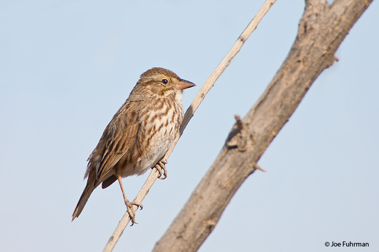 Large-billed Savannah Sparrow Imperial Co., CA February 2006