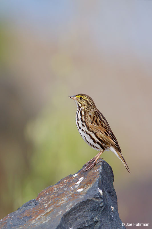 Savannah Sparrow (Belding's)San Diego Co., CA March 2015