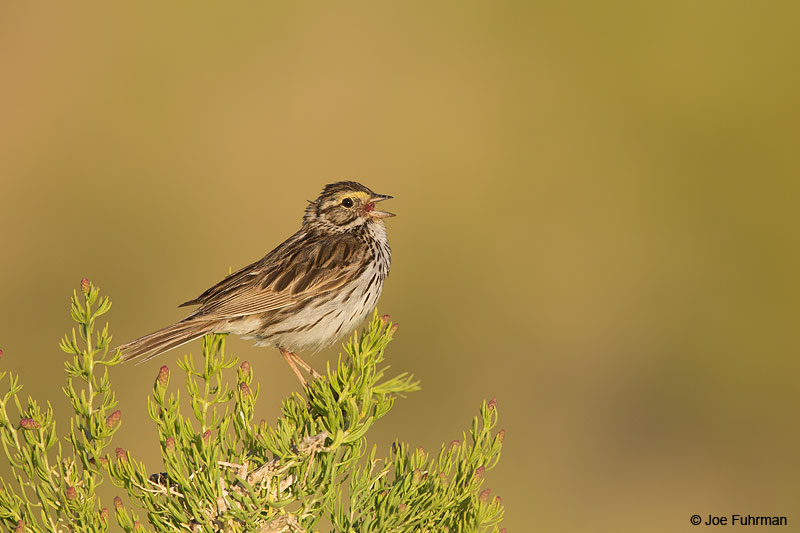 Savannah Sparrow Mono Co., CA June 2014