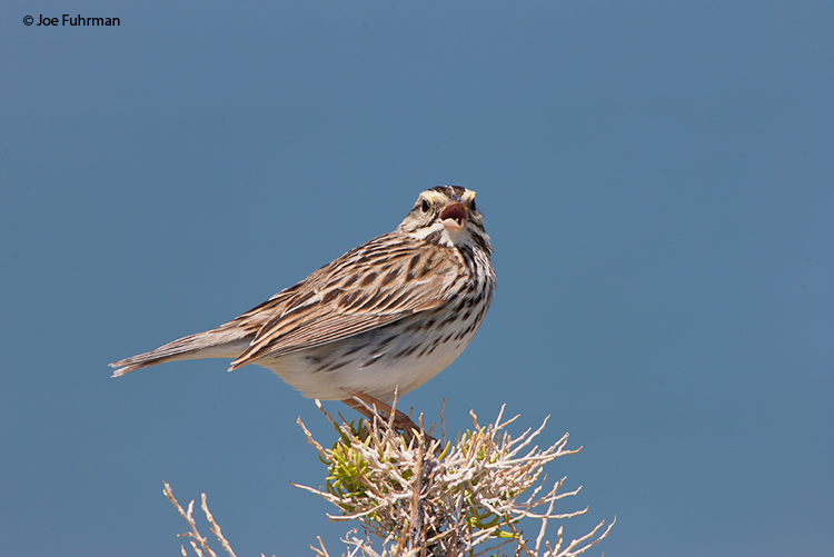 Savannah Sparrow (adult Belding's) Mono Co., CA June 2008