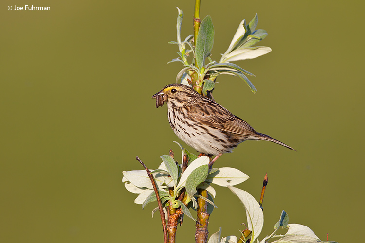 Savannah Sparrow Nome, AK June 2011