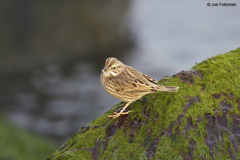 Savannah_Sparrow_W0G0880