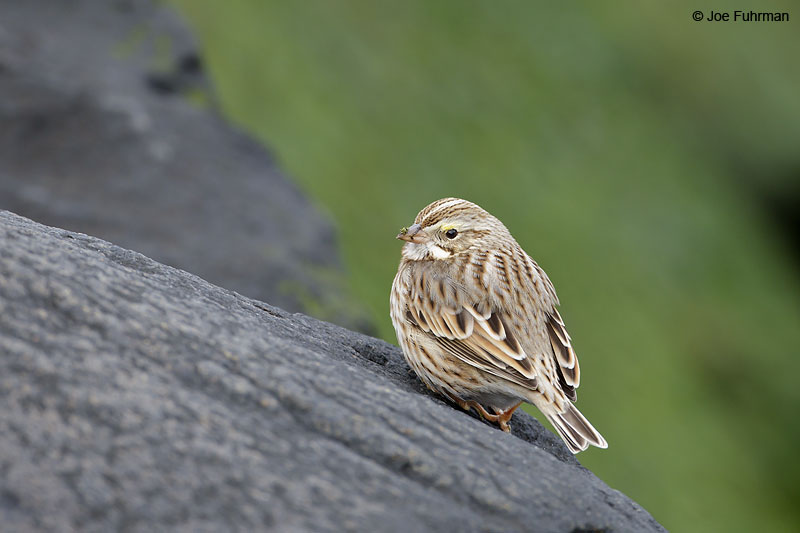 Savannah_Sparrow_W0G0985