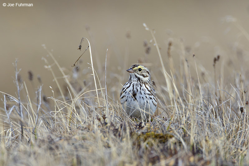 Savannah Sparrow Barrow, AK June 2012