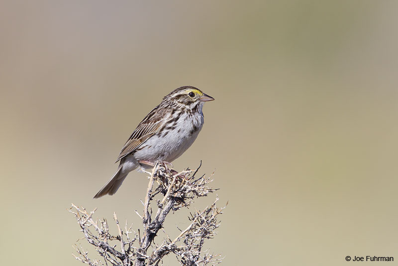 Savannah Sparrow Mono Co., CA June 2013