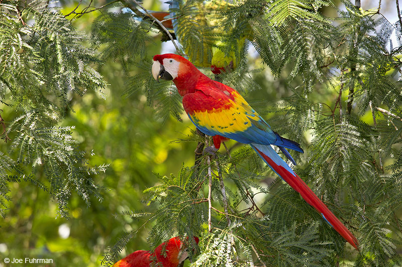 Scarlet Macaw Costa Rica   Jan. 2014