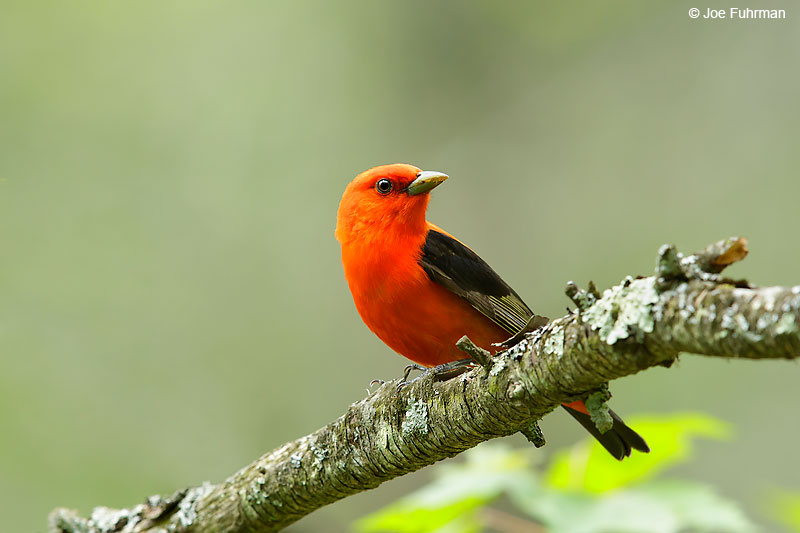 Scarlet Tanager maleLackawanna Co., PA   May 2016