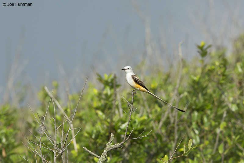 Scissor-tailed Flycatcher Galveston, TX   April 2014