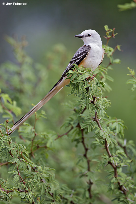 Scissor-tailed Flycatcher Starr Co., TX April 2012