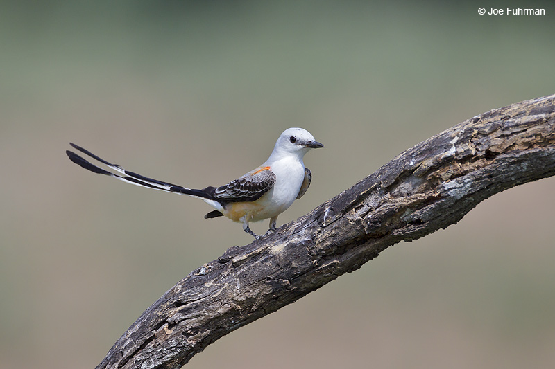 Scissor-tailed Flycatcher Hidalgo Co., TX April 2012