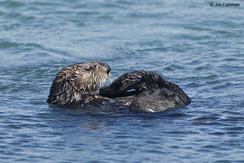 Sea Otter San Luis Obispo Co., CA Sept. 2010